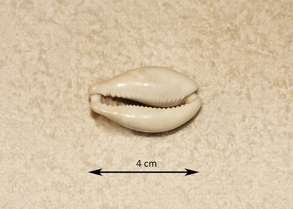 Chestnut Cowrie (Neobernaya spadicea; synonyms = Cypraea spadicea). Ventral view. Collected November 1987, As Shuaybah (inner reef flat, depth ~ 15 ft), Red Sea, Hejaz Province, Saudi Arabia. This is supposed to be an EASTERN Pacific mollusc; no idea what it was doing in the Red Sea!