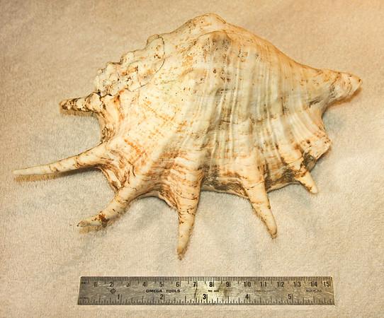 Giant Spider Conch (Lambis truncata sebae), abaperatural view. Collected November 1988 (inner reef flat zone, 20 ft depth), Al Shuaybah  (120 km south of Jeddah, east shore of the Red Sea), Hejaz Province, Kingdom of Saudi Arabia.