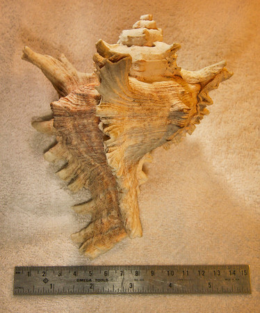 Virgin Murex (Chicoreus virgineus), abaperagtural view. Collected September 1987 (inner reef flat zone, 25 ft depth), Al Shuaybah (120 km south of Jeddah, east shore of the Red Sea), Hejaz Province, Kingdom of Saudi Arabia. Shell is about 18 cm long.