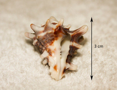 Pacific Top Vase shell (Vasum turbinellus). Aperatural view. Collected winter of 1987, As Shuabah (outer reef flat, depth ~20 feet), Red Sea, Saudi Arabia.