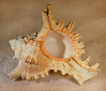 Virgin Murex (Chicoreus virgineus), aperatural view. Collected September 1987 (inner reef flat zone, 25 ft depth), Al Shuaybah (120 km south of Jeddah, east shore of the Red Sea), Hejaz Province, Kingdom of Saudi Arabia. Shell is about 18 cm long.