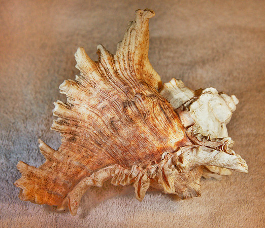 Virgin Murex (Chicoreus virgineus), dorsal view. Collected September 1987 (inner reef flat zone, 25 ft depth), abaperatural view, Al Shuaybah (120 km south of Jeddah, east shore of the Red Sea), Hejaz Province, Kingdom of Saudi Arabia. Shell is about 18 cm long.