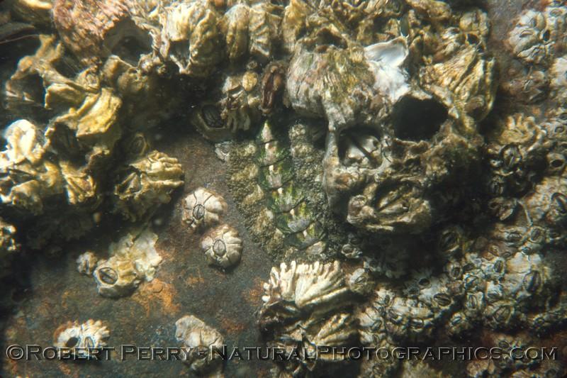 chiton amphineura & Balanus Log 832 1981-08 SM Pier