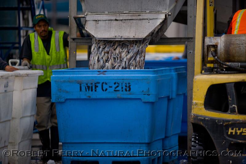 vessels Loligo squid offload 2011 11-11 Ventura Hbr- 021