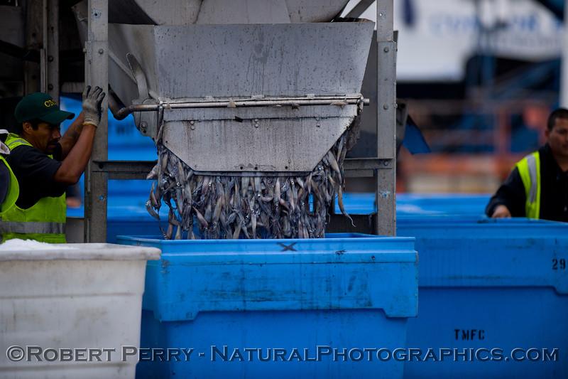 vessels Loligo squid offload 2011 11-11 Ventura Hbr- 014