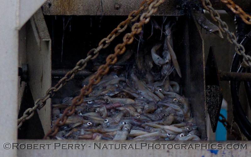 vessels Loligo squid offload 2011 11-11 Ventura Hbr- 013