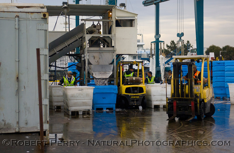 vessels Loligo squid offload 2011 11-11 Ventura Hbr a - 015