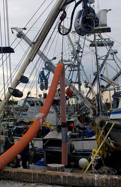 vessels Loligo squid offload 2011 11-11 Ventura Hbr a - 038