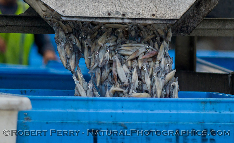 vessels Loligo squid offload 2011 11-11 Ventura Hbr- 007