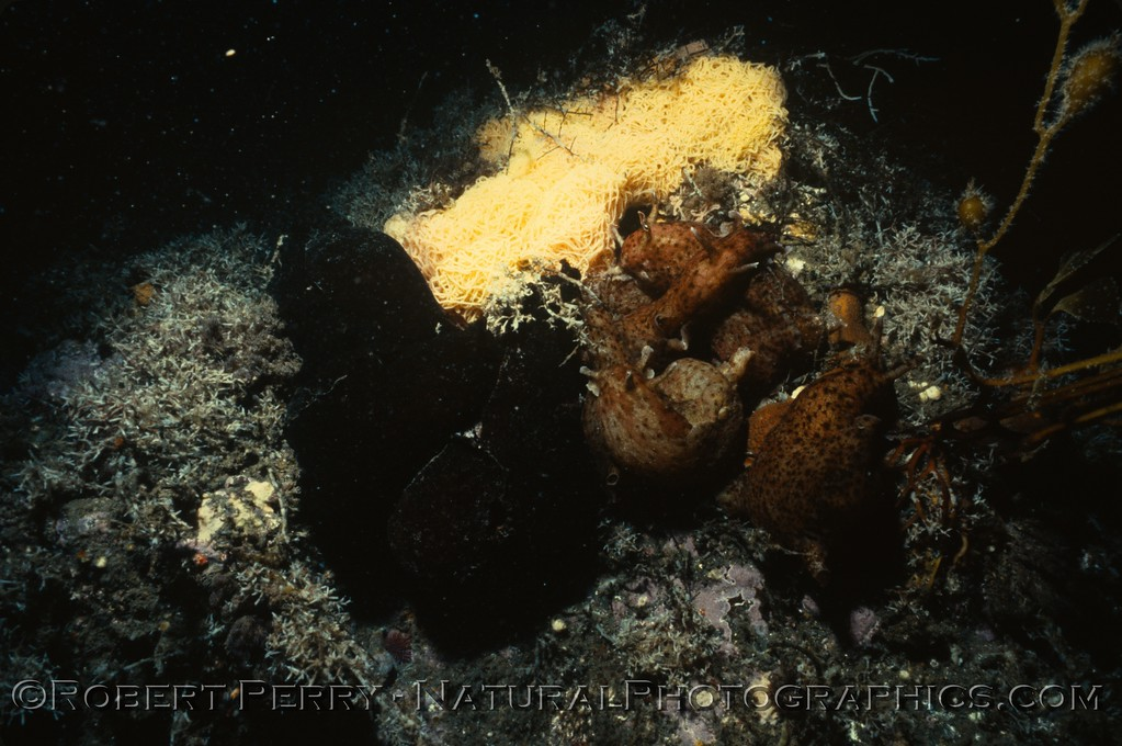 Log 1120 - Anacapa Island.    A mating cluster of sea hares with large egg mass.