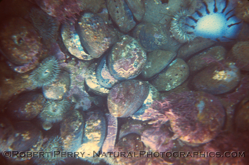 Haliotis cracherodii masses Nicholas Bch Malibu 1970s