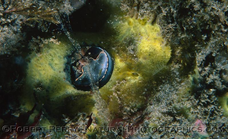 Serpulorbis squamigerus--Log 856 1982-03 Anacapa