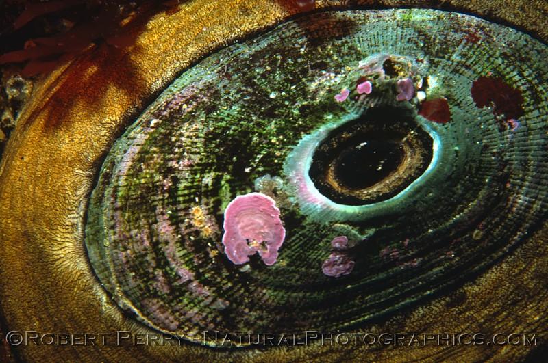 Megathura crenulata Log 686 1980-05 Sta Cruz Island