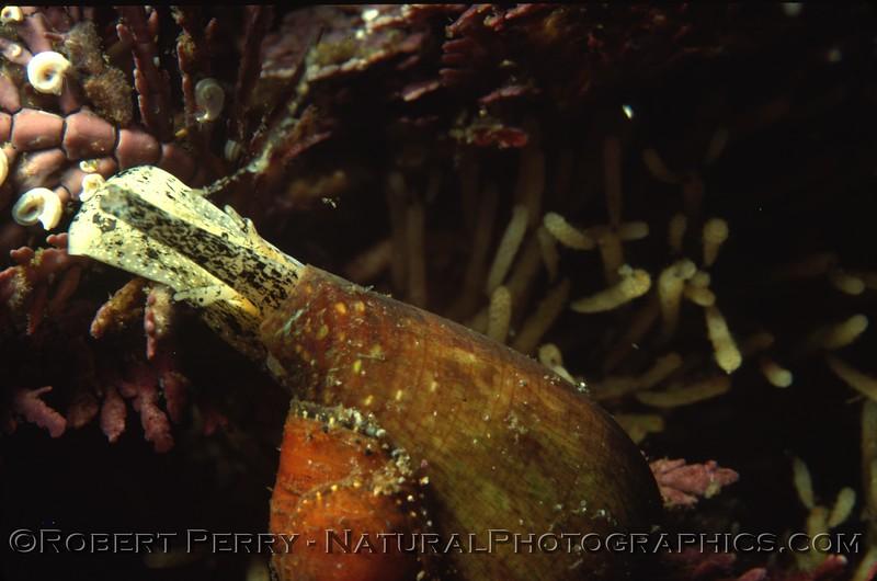 Conus californicus head out feeding UW close Log 712 1980-08 Anacapa