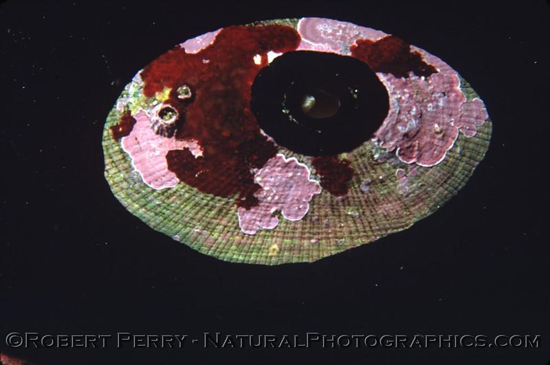 Megathura crenulata UW Log 686 1980-05 Sta Cruz Isl -003