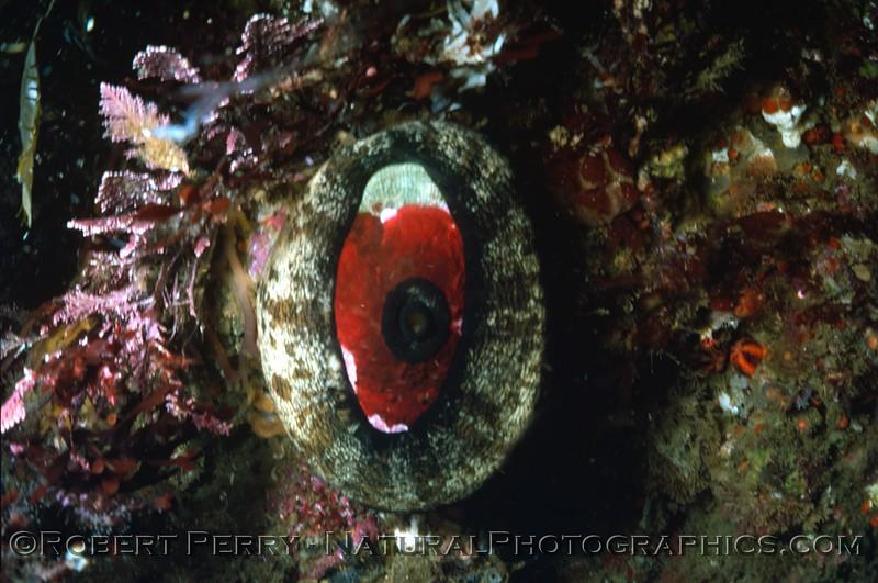 Megathura crenulata Log 685 1980-05 Sta Cruz Island