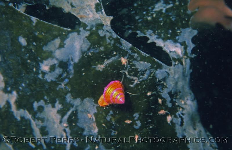 Calliostoma annulata-1976-07