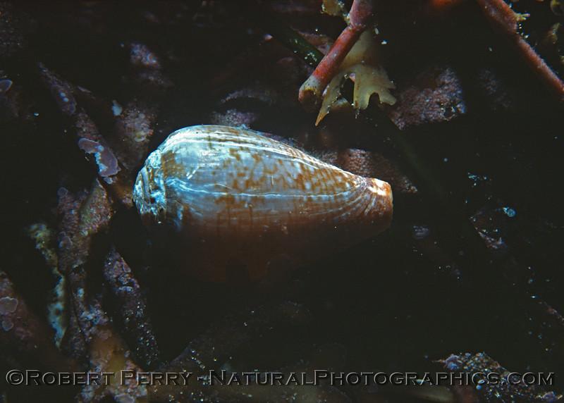 Conus californicus-1977-02