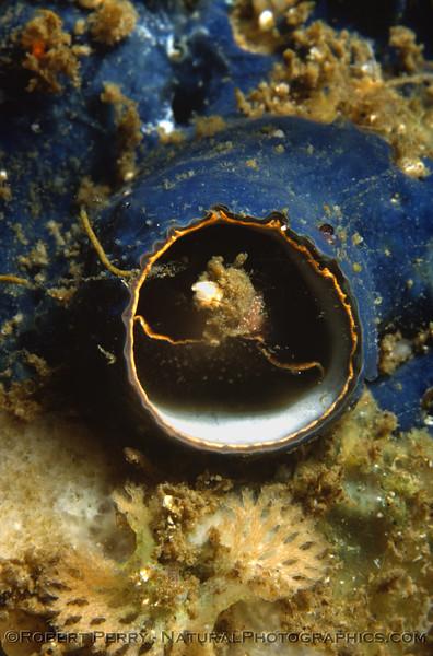 Serpulorbis squamigerus & Hymenamphiaster cyanocrypta Log 712 1980-08 Anacapa