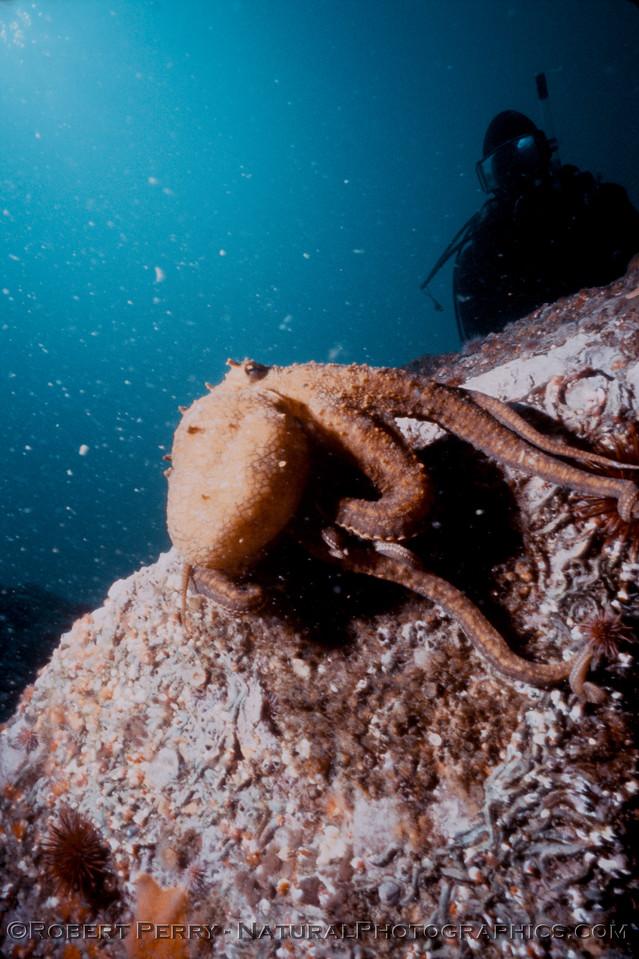 Octopus juv & diver Log 1233 1986-06 Anacapa-003