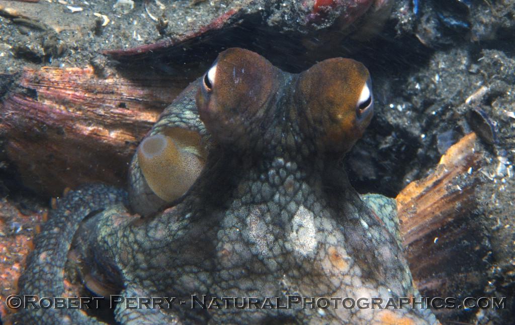 Octopus bimaculatus Log 907 1982-08 SM Wall