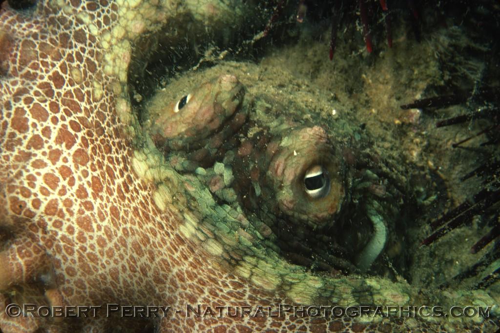 Octopus bimaculatus UW 1977-12 - 007