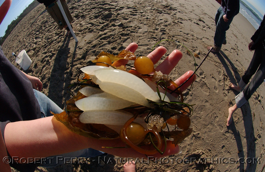 Loligo opalescens market squid eggs on Macrocystis 2004 01-29- Zuma--013