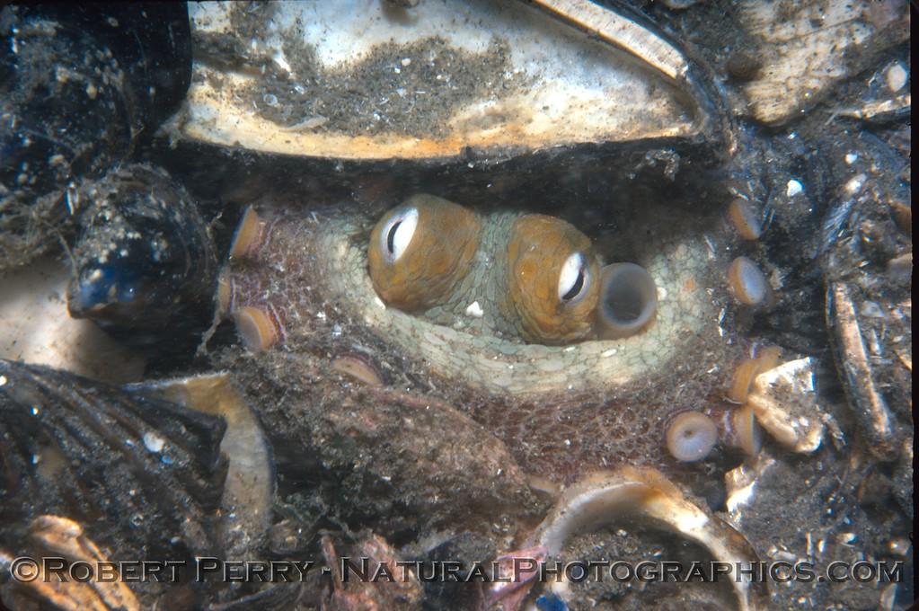Octopus bimaculatus Log 907 1982-09 SM Wall