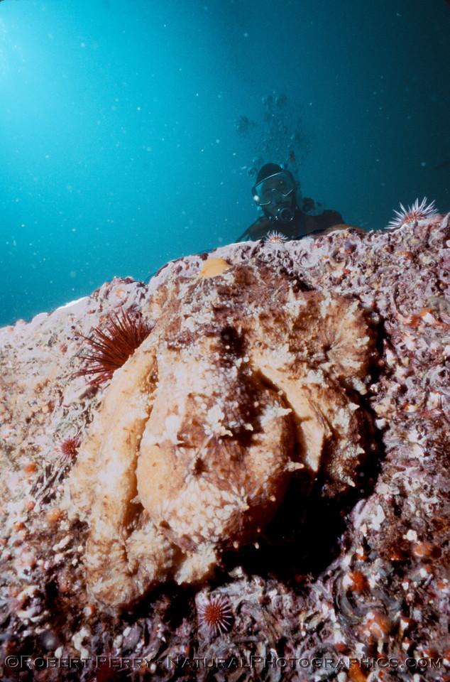 Octopus juv & diver Log 1233 1986-06 Anacapa-004