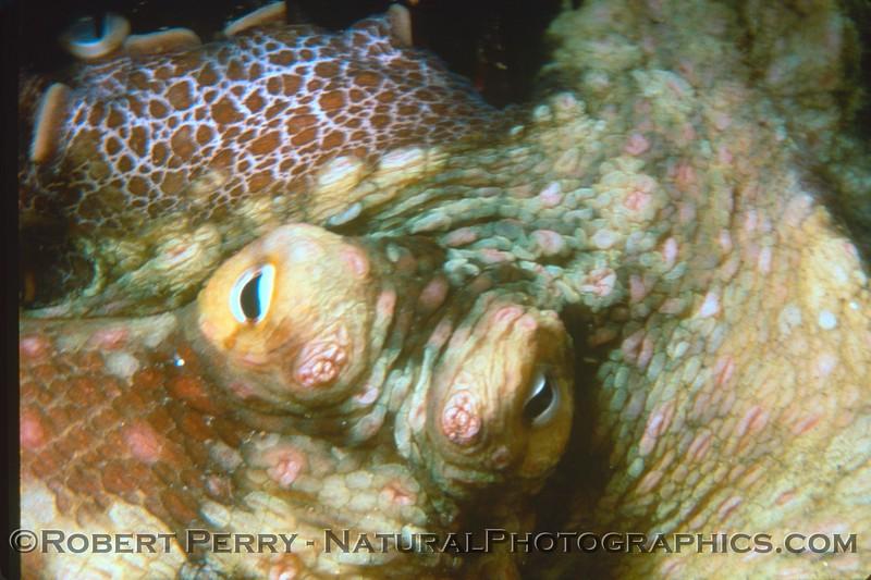 Octopus bimaculatus 1983-12