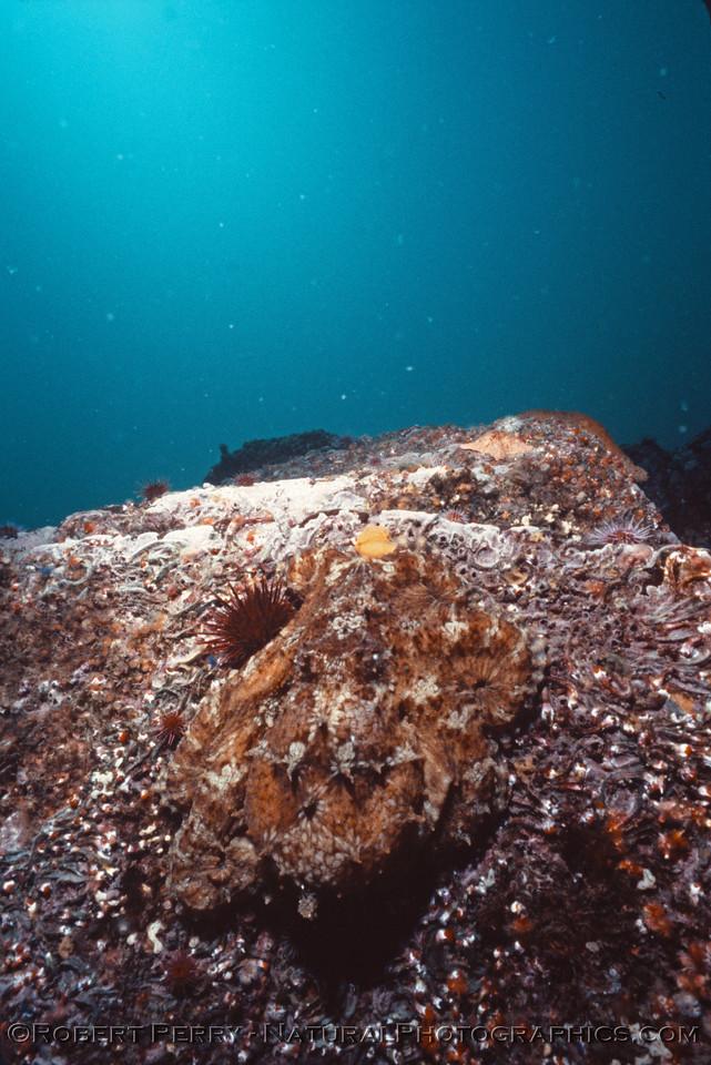 Octopus juv & diver Log 1233 1986-06 Anacapa-005