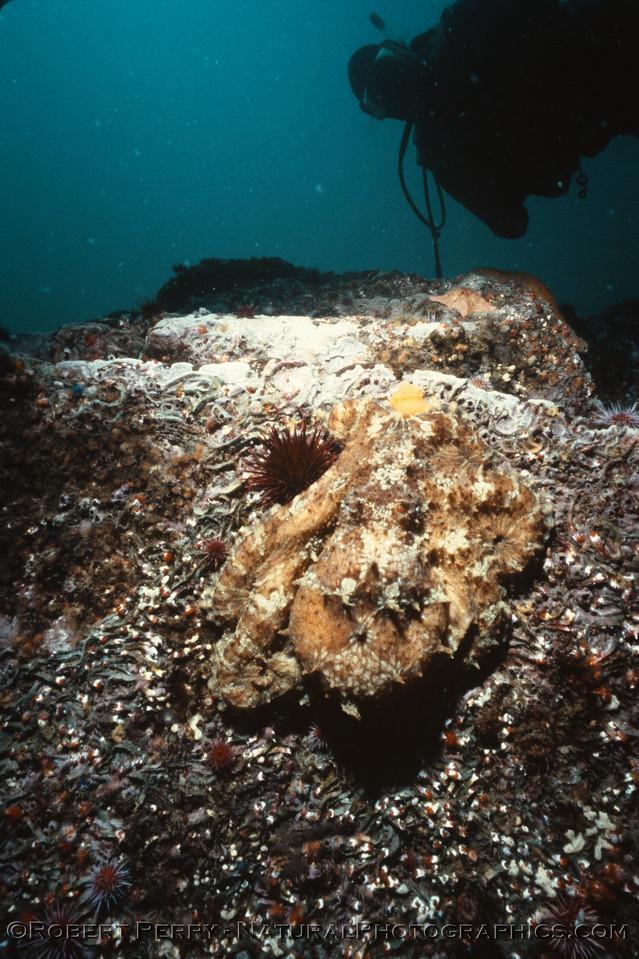 Octopus juv & diver Log 1233 1986-06 Anacapa-001