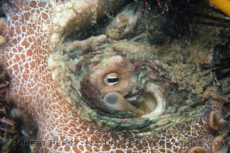 Octopus bimaculatus 1977-12-001