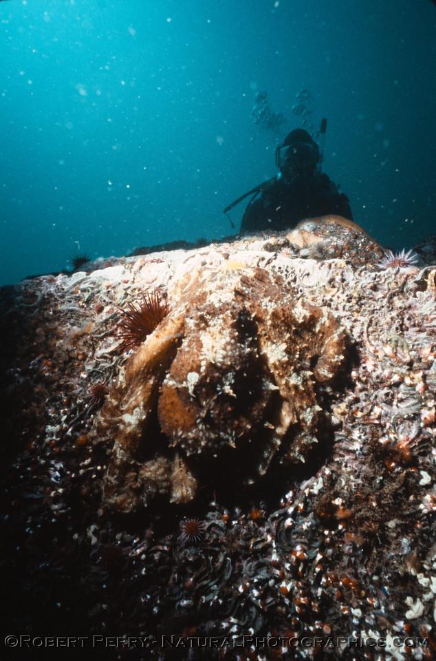 Octopus juv & diver Log 1233 1986-06 Anacapa-002