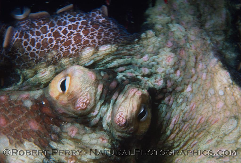 Octopus bimaculatus 1977-12-a-001