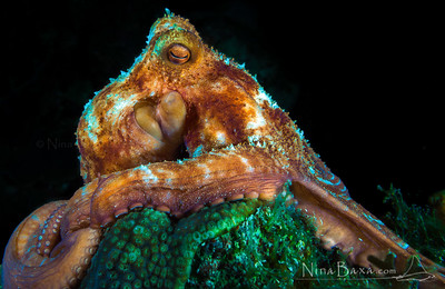 Caribbean Reef Octopus on a pedestal - night dive, Cayman.
