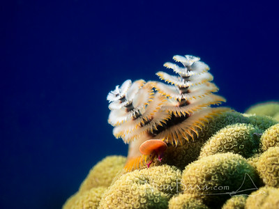 Christmastree Worm