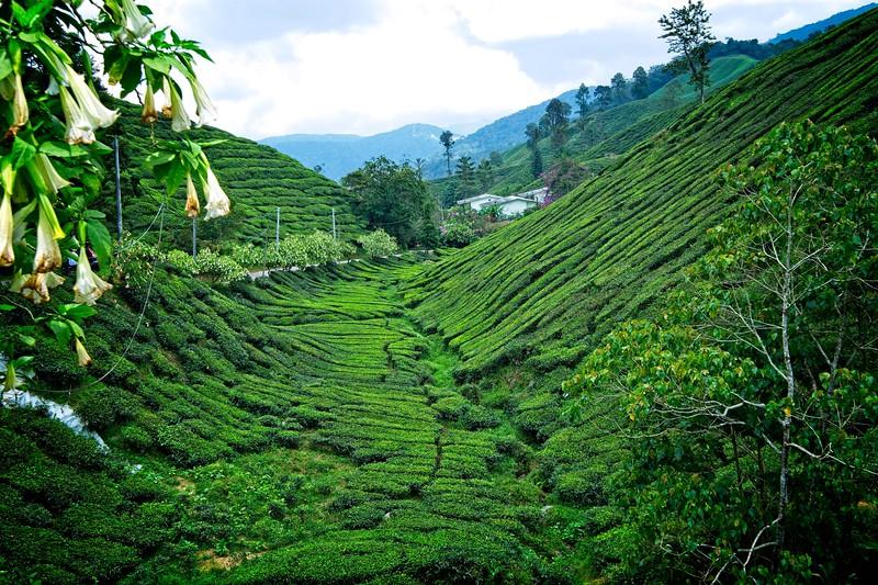 Boh Tea Fields