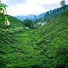 Boh Tea Fields