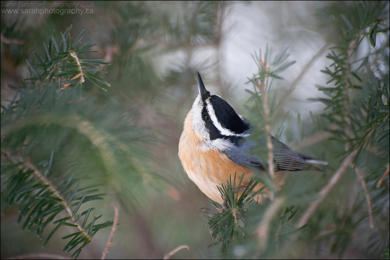 Red-breasted Nuthatch <i>Sitta canadensis</i>