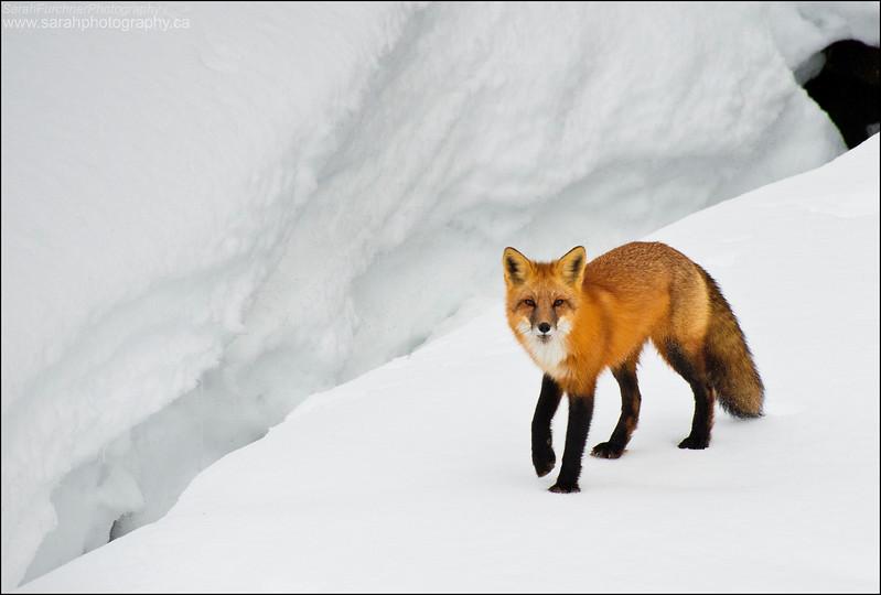 Red Fox  <i>Vulpes vulpes</i>