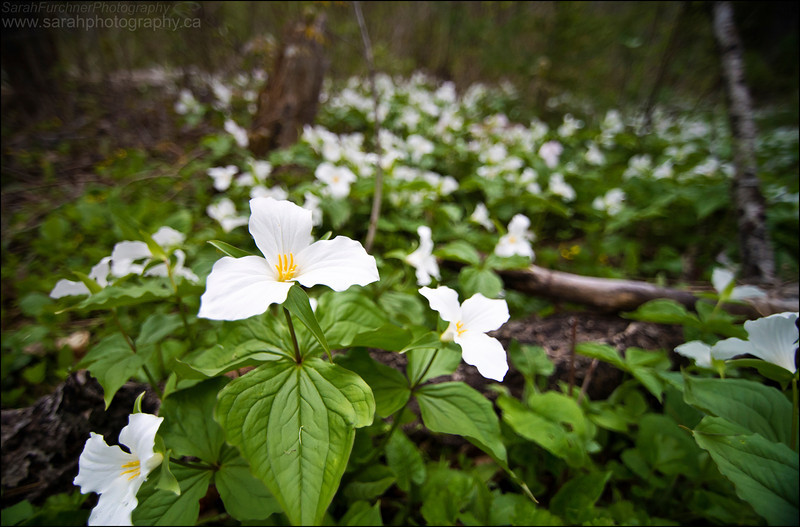 Trilliums. Killarney, ON.