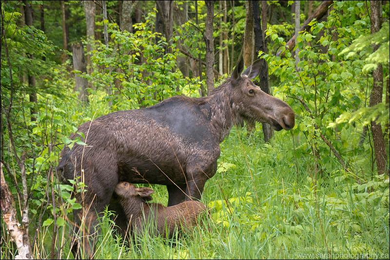 Cow Moose and Calves.  <i>Alces alces</i>