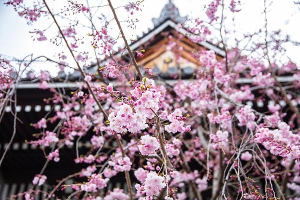 Cherry Blossoms  Honnō-ji Temple, Kyoto