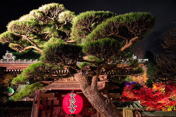 A red lantern under the giant pine tree