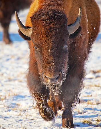 Winter Bison - Stevensville, MT -  file name for ordering listed below