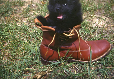Pomeranian in boot