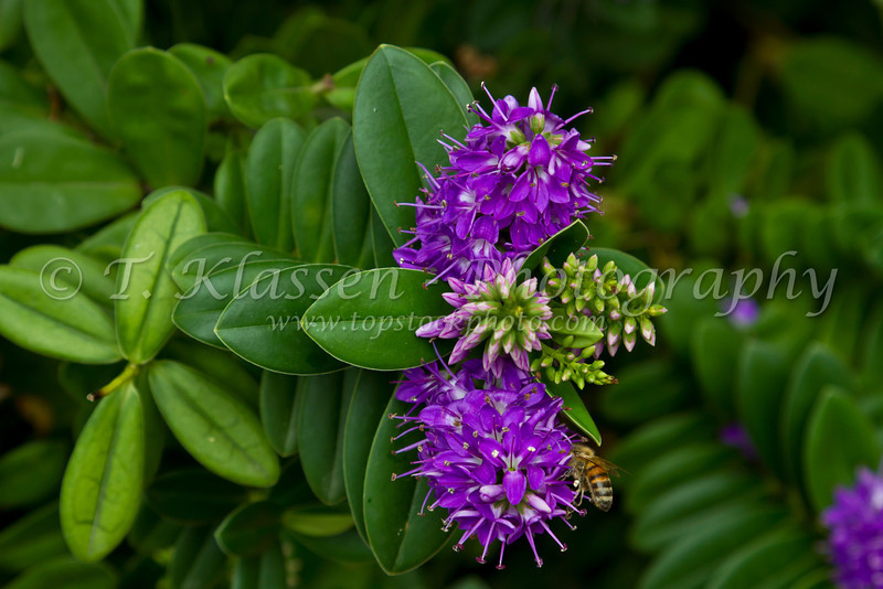Purple decorative tropical flowers in a small garden in the Principality of Monaco.