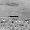 Antelope in Wyoming, 1960's.