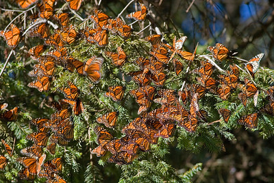 Oyamel Fir Monarch Cluster